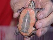 Turtle275